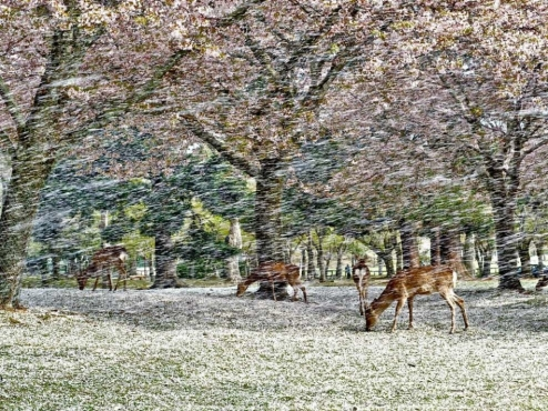 Giappone: Hanami - Cervi tra una una cascata di fiori