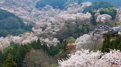 Giappone: Hanami a Yoshinoyama