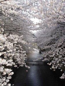 Giappone-Hanami