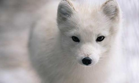 Una volpe artica e una bimba Inuit i protagonisti di Never Alone