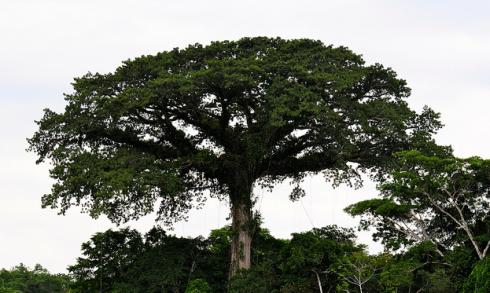 L'albero di ceiba è sacro in tutto il Centro e Sud America. A Puerto Rico la Ceiba de Ponce ha 500 anni; in Guatemala, la Ceiba de Palín Escuintla ha 400 anni; A Caracas ce n'è una più giovane di 100 anni.