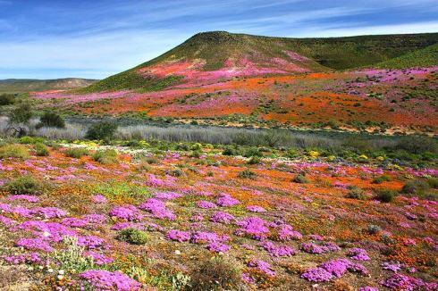 Namaqualand, tra la Namibia e Sud Africa, durante la stagione della fioritura
